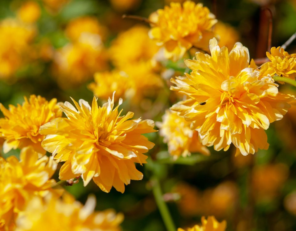 Five Shrubs that Flower in Early Spring